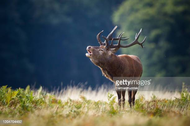 red deer old stag - red deer animal stock pictures, royalty-free photos & images