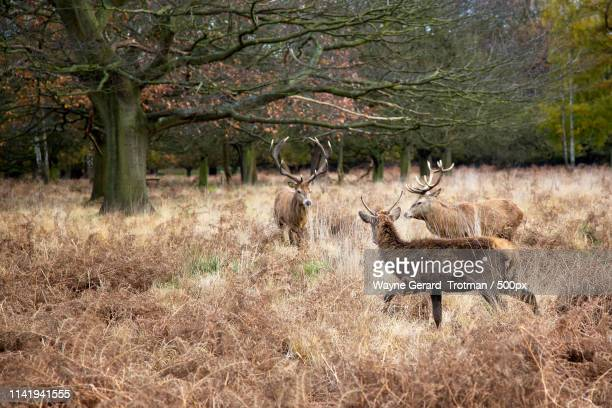 red deer - wayne gerard trotman stock pictures, royalty-free photos & images