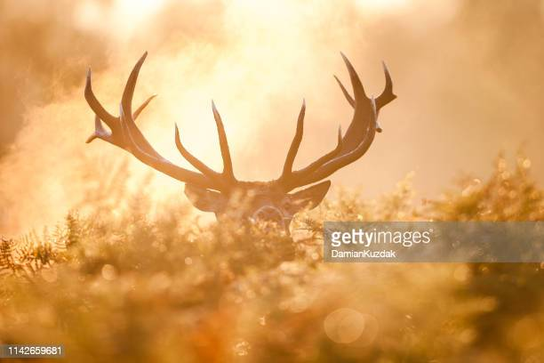 red deer (cervus elaphus) - bucks stock pictures, royalty-free photos & images