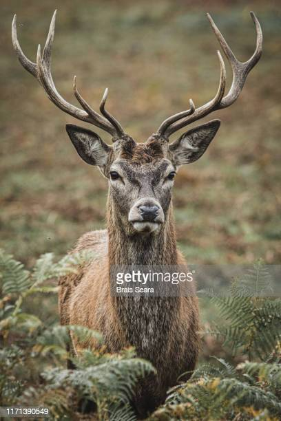 red deer. - red deer animal stock pictures, royalty-free photos & images