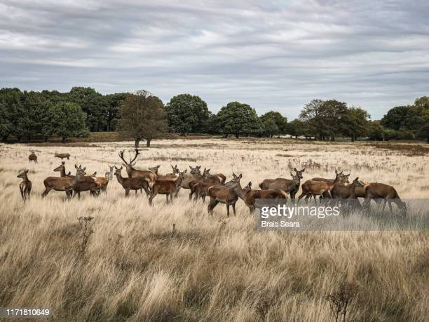 red deer. - hunting stock pictures, royalty-free photos & images