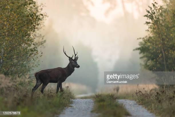 rothirsch - wildtier stock-fotos und bilder