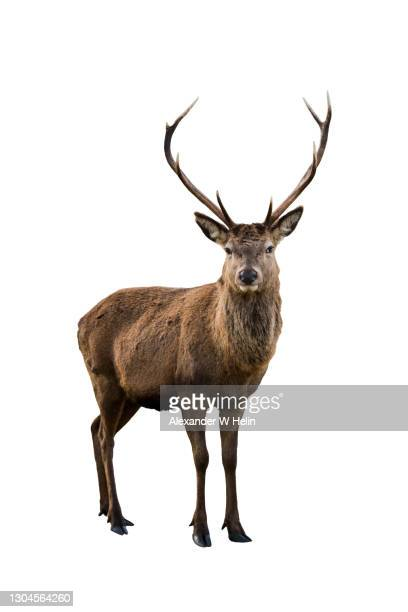red deer - deer stock pictures, royalty-free photos & images