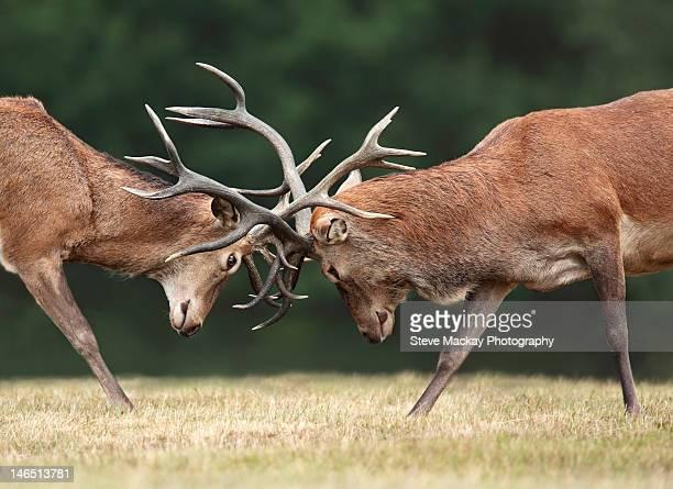 red deer - アカシカ ストックフォトと画像