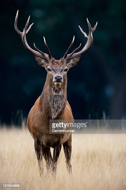 red deer - bucks stock pictures, royalty-free photos & images