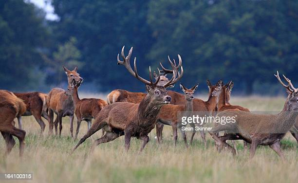 red deer. - アカシカ ストックフォトと画像