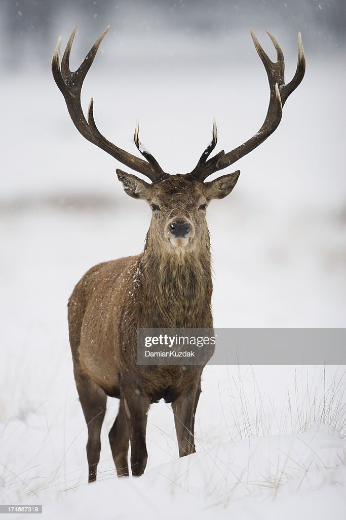 Red Deer : Foto de stock