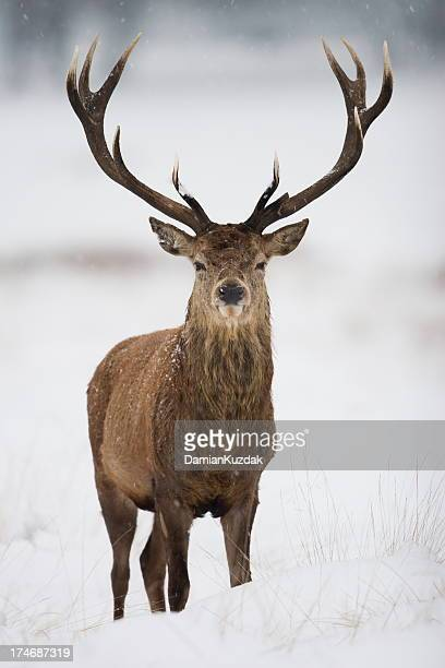 red deer - bucks stock photos and pictures
