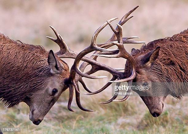red deer - red deer animal stock pictures, royalty-free photos & images
