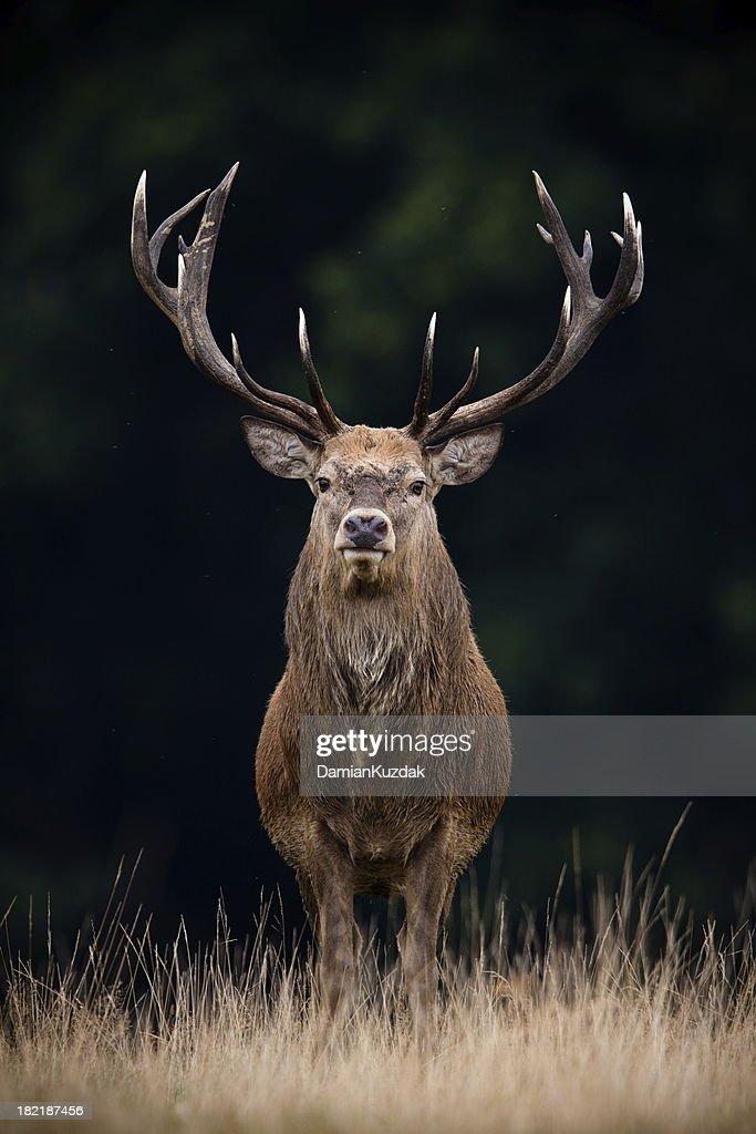 Red Deer : Foto de stock