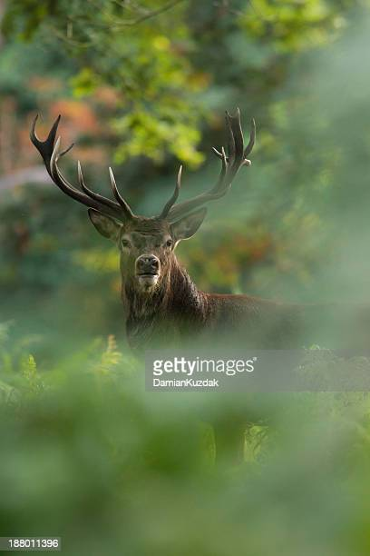red deer (cervus elaphus) - wapiti foto e immagini stock