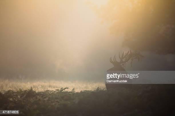 Red Deer(Cervus elaphus)