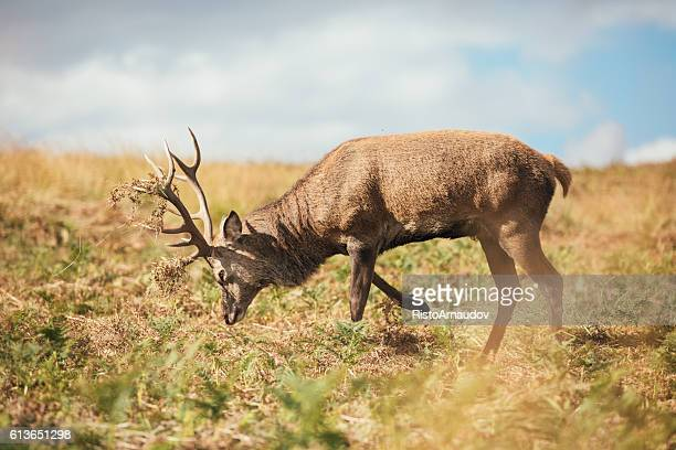red deer - leicester stock pictures, royalty-free photos & images