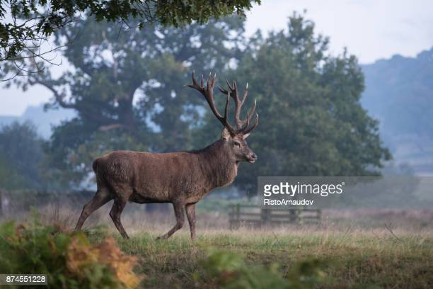 red deer - buck stock photos and pictures