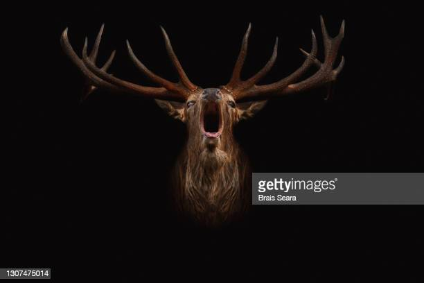 red deer portrait bellowing on black background - stag stock pictures, royalty-free photos & images