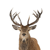 Red deer portrait isolated