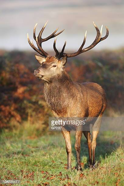 red deer portrait - red deer animal stock pictures, royalty-free photos & images