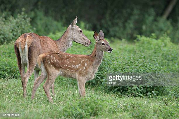 A Hind And A Fawn The Picture Was Taken In Picardy FranceCervus Elaphus Red Deer Deer Cervid Ruminant Mammal