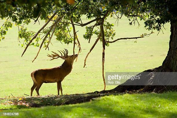 Red deer reiben antlers