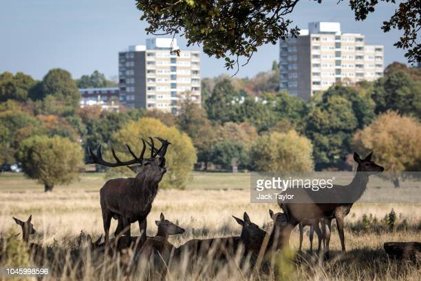 Red deer shelter in the shade of a tree in Richmond Park on October 5 2018 in London England The months of Autumn are rutting season for deer which...
