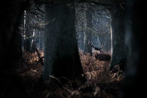Red Deer (Cervus elaphus) sniffing in forest and trees in foreground - gettyimageskorea