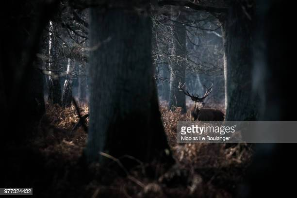red deer (cervus elaphus) sniffing in forest and trees in foreground - veado macho - fotografias e filmes do acervo