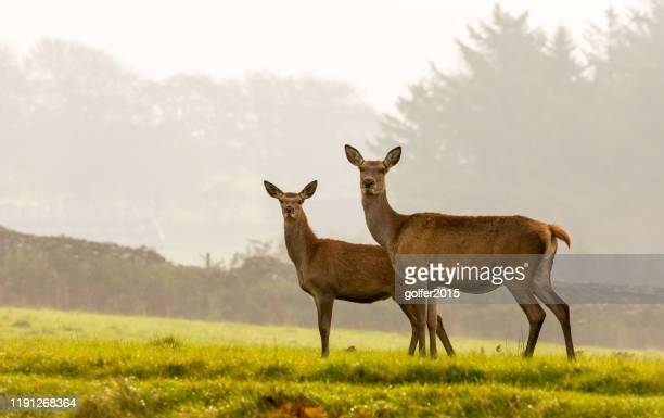 red deer - south wales - united kingdom - femmina di daino foto e immagini stock
