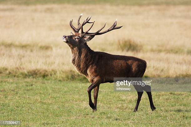 Red deer stag strutting during rut nose in the air