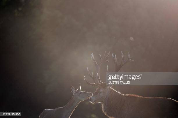 Red deer stag and hind caress in Richmond park at sunrise in south west London on October 6, 2020.