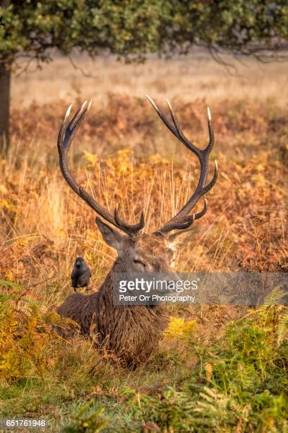 A red deer stag and jackdaw