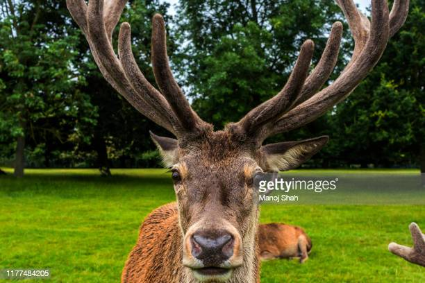 red deer stag at wallaton park. - animal body part stock pictures, royalty-free photos & images