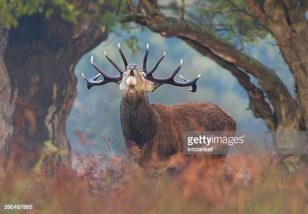 Red deer stag bellowing at dawn, London UK