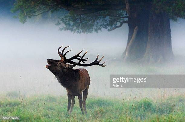 Red deer stag bellowing in grassland at forest edge in the mist during the rutting season in autumn