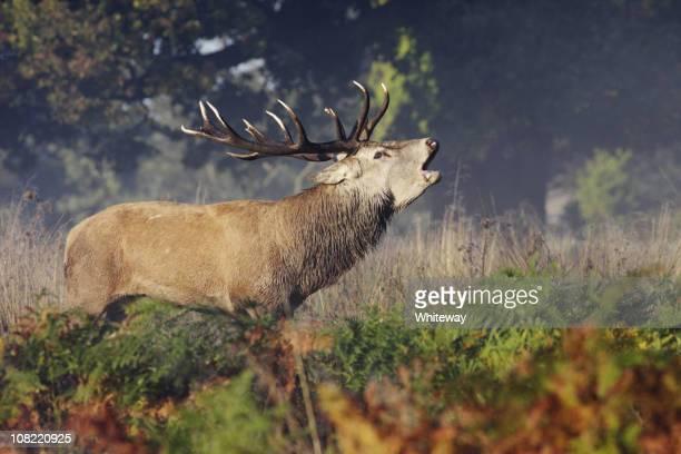 Red deer despedida bellowing roaring bramar
