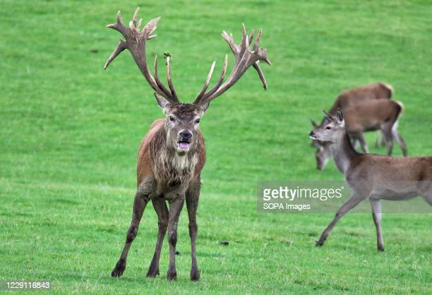 Red deer stag bellows to assert his presence at the Woburn Deer Park in Bedfordshire at the start of the rutting season.