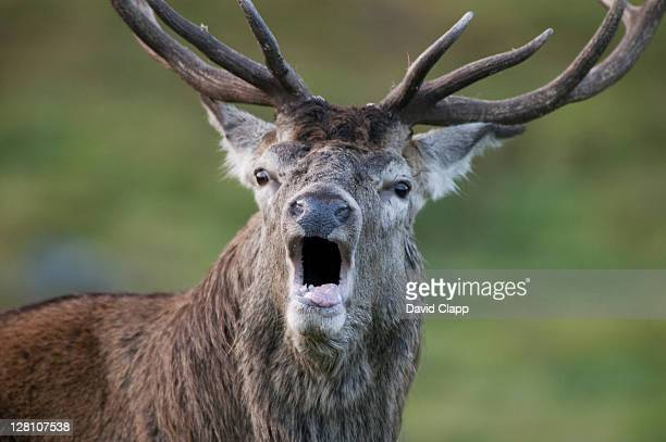 red deer (cervus elaphus) stag calling on scottish moorland, uk - stag stock pictures, royalty-free photos & images