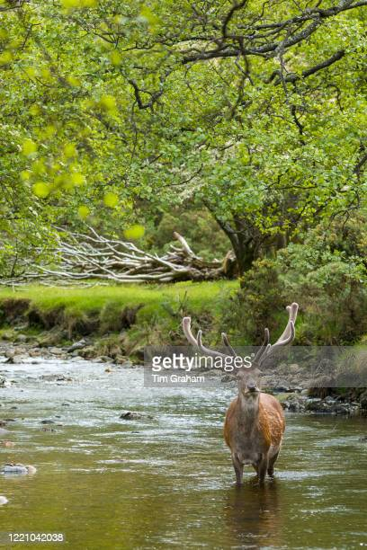 Red Deer stag Cervus elaphus adult mature male with large antlers in river scene at Lochranza Isle of Arran Scotland