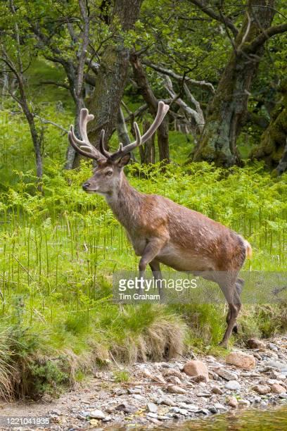 Red deer stag, Cervus elaphus, with velvet type antlers in woodland at Lochranza, Isle of Arran, Scotland.