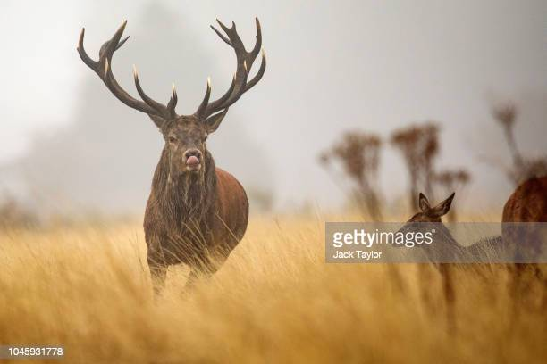 A red deer stag chases females on a foggy morning in Richmond Park on October 5 2018 in London England The months of Autumn are rutting season for...