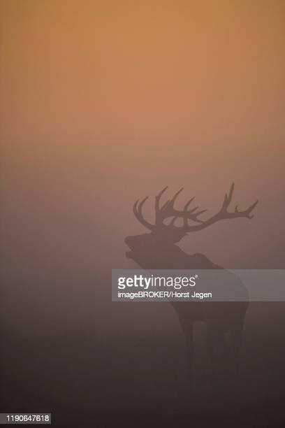 red deer (cervus elaphus), stag, copenhagen, denmark - begattung kopulation paarung stock-fotos und bilder