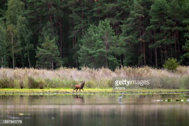 Red deer stag crossing shallow water of pond at forest edge during the rut in autumn.