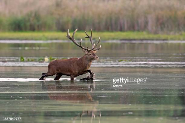 Red deer stag crossing shallow water of pond during the rut in autumn.