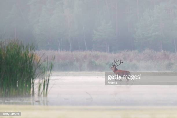 Red deer stag crossing shallow water of pond in the mist during the rut in autumn.
