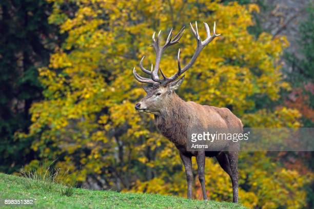 Red deer stag during the rutting season in autumn forest