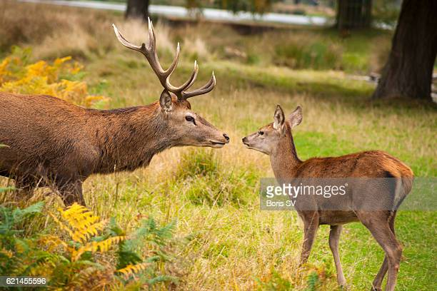 Red Deer Stag face-to-face with fawn