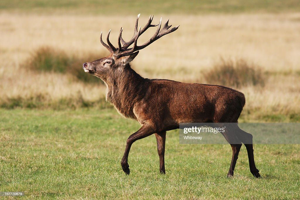 Red deer stag is strutting fine fellow : Stock Photo