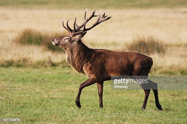 Red deer stag is strutting fine fellow