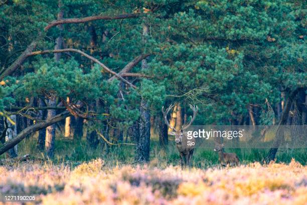 "red deer stag in a forest during early autumn at the start of the rutting season - ""sjoerd van der wal"" or ""sjo"" stock pictures, royalty-free photos & images"