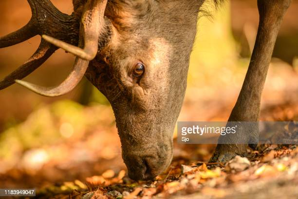 """red deer stag in a forest during early autumn - """"sjoerd van der wal"""" or """"sjo"""" stock pictures, royalty-free photos & images"""