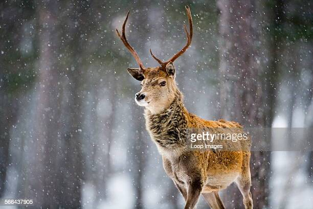 A Red Deer Stag in falling snow